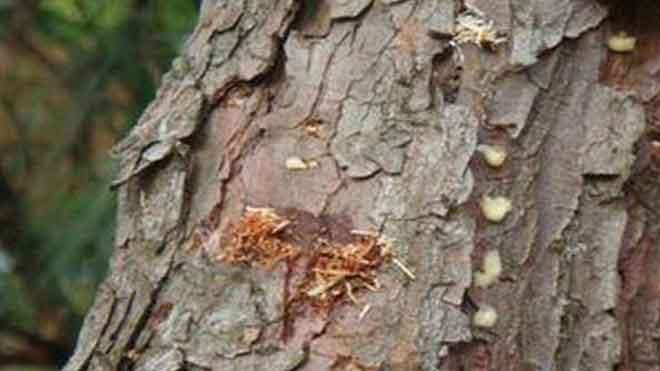 专业松材线虫病鉴定方法——活立木与原木!