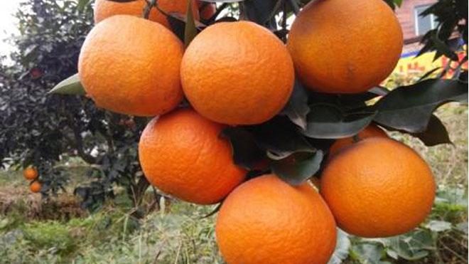 柑橘疮痂病发病有规律,症状有特点,懂才会治!
