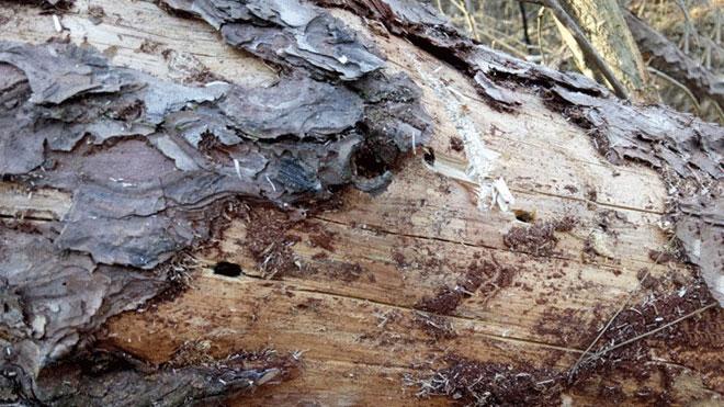专业松材线虫病鉴定方法——枯死木与松木制品!