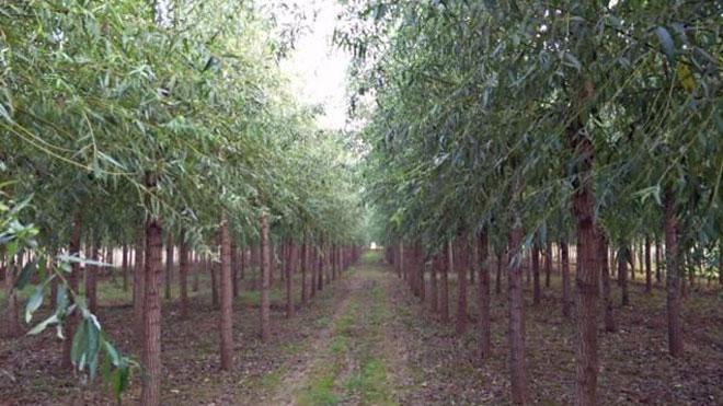 柳树柳干木蠹蛾危害大,专家指导五种高效防治手段