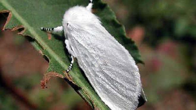 美国白蛾防治方法