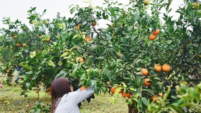 终极秘籍,绿色柑橘种植初期管理技术!