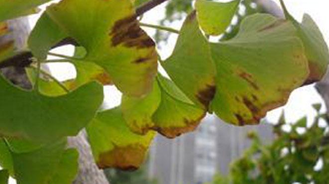 银杏叶病黄化的六大类原因,毛举缕析无纰漏!