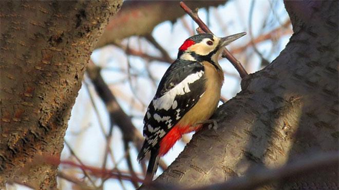 杨树医师大斑啄木鸟招引手段有哪些