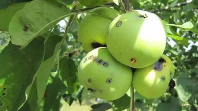 梨小食心虫防治方法