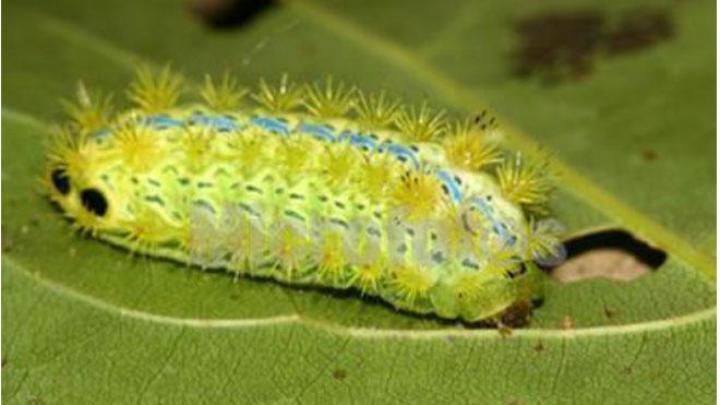 梧桐树食叶虫害褐边绿刺蛾特点与防治方法,一步到位!