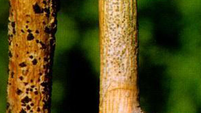 桑芽枯病和桑拟干枯病,枝干病害综合防治方法