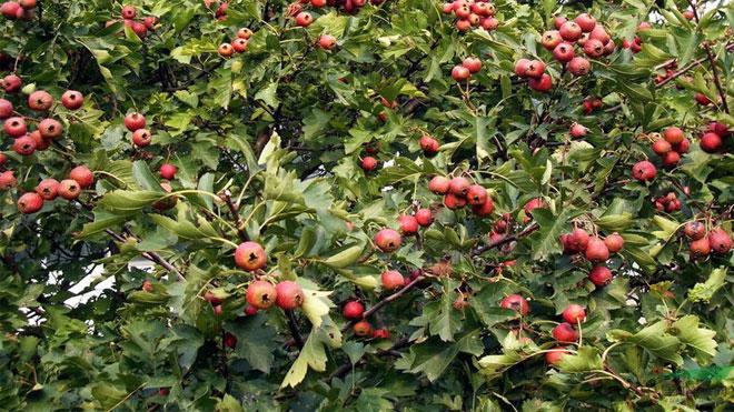 苹果病虫害无公害防治是什么,绿色环保还能不发病虫害!
