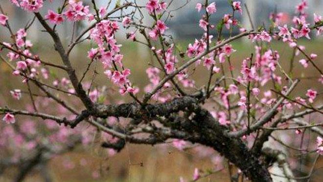 关于桃树病虫害综合治理,一共五个建议!