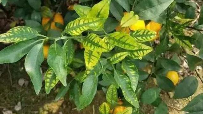 橘子黄叶的原因及解决方法