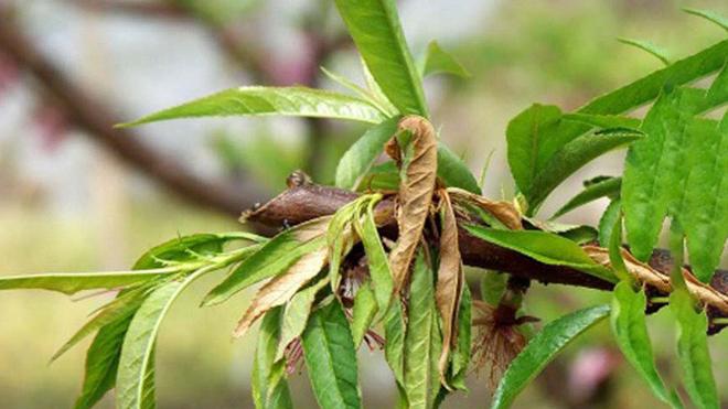 桃树病虫害防治之炭疽病