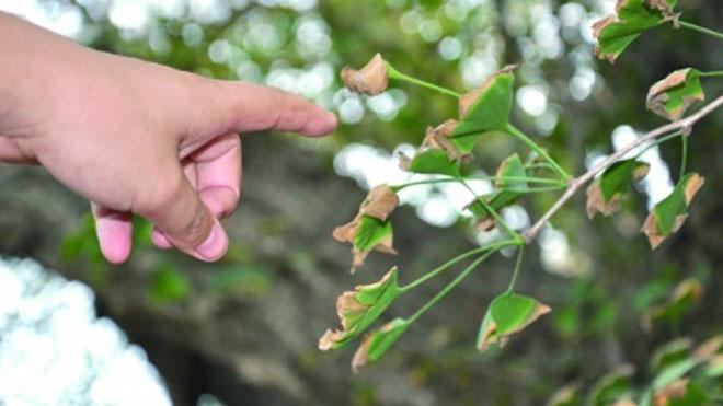 缺铁还有虫害都会导致银杏树黄化干枯死亡,提神注意!