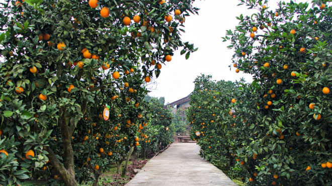 高产量!柑橘园环境要求、品种选择与栽培技巧