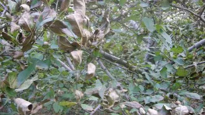 苹果树落叶病如何防治?