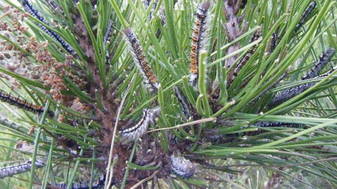 松树林里松毛虫的预测监测方法,一共三种