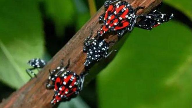 葡萄斑衣蜡蝉的危害及防治方法