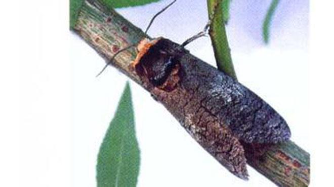 柳干木蠹蛾发布地区、发育形态与发生规律,百科知识!