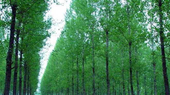 要想杨树长得快,营养注干剂需信赖!