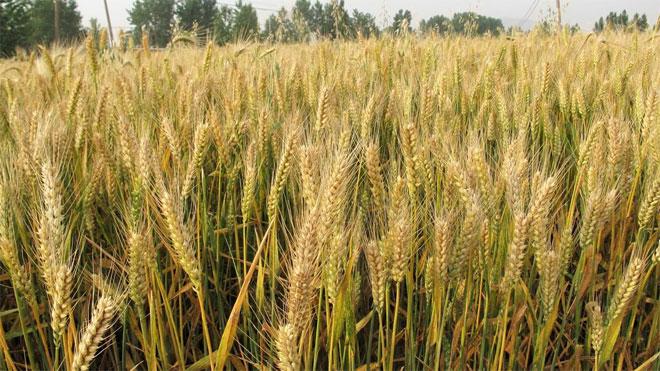 针对上级的小麦赤霉病防控对策,官方可靠!