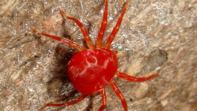 桑红蜘蛛的分布与危害常识与发生规律!
