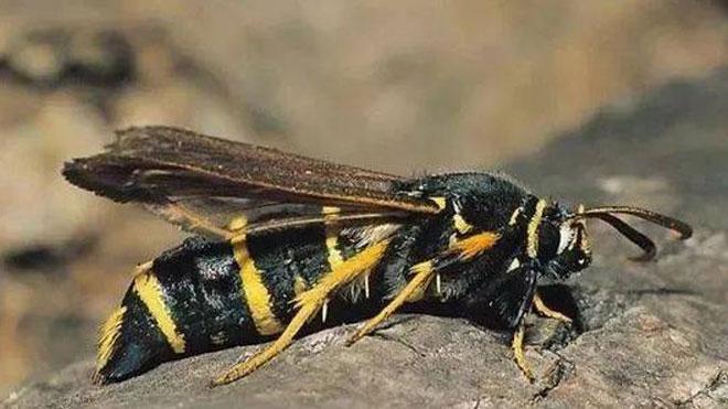 白杨透翅蛾发生规律及防治方法