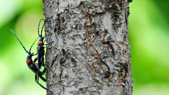 花绒寄甲与白僵菌,针对桃红颈天牛效果如何?