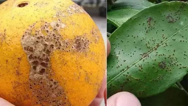 柑橘砂皮病发病症状与发生规律讲解