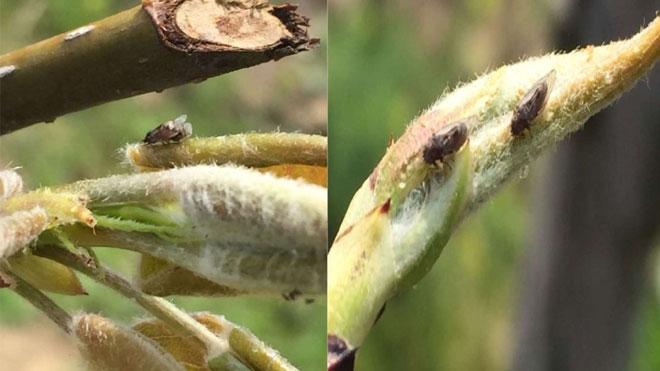 梨木虱重要资料!发生规律与危害特点