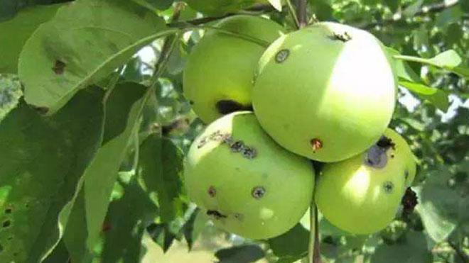 桃小食心虫的发生规律及防治