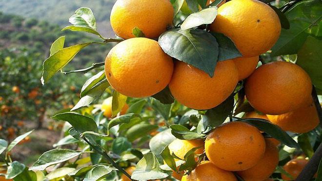 终极秘籍二,绿色柑橘种植盛果期管理技术!