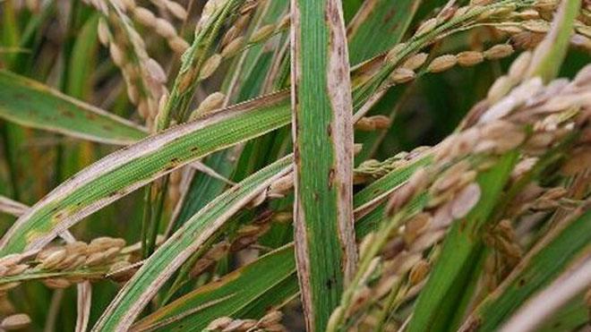 水稻细菌性条斑病的防治方法,详细实用。