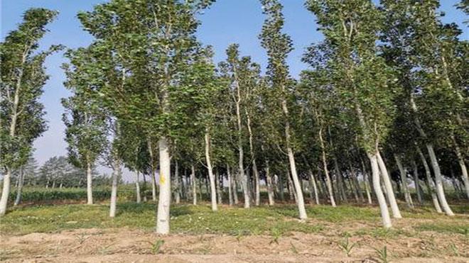 杨树溃疡病的防治方法
