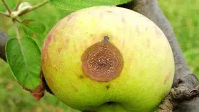 苹果树无公害治虫,大力推广物理防治和科学使用农药!