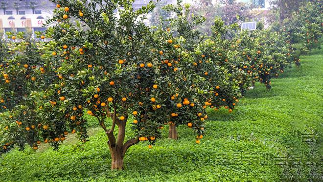 柑橘园内发生星天牛虫灾的原因