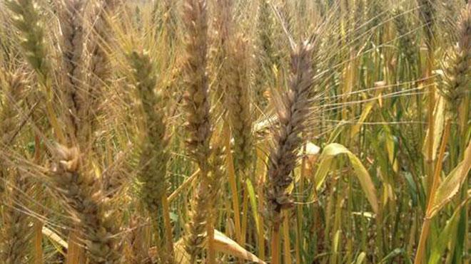 小麦赤霉病流行成灾原因,三个重点分析!
