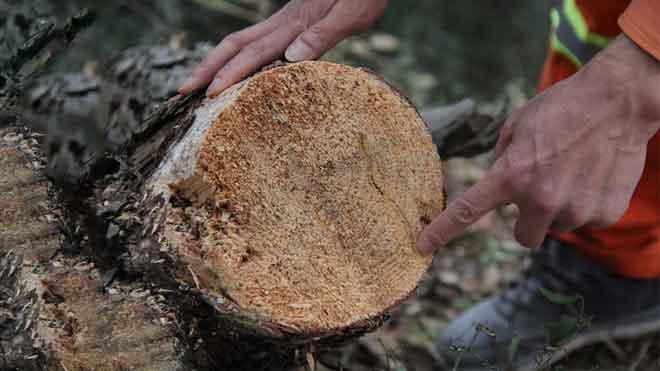 松材线虫易发病的四种因素与发现途径