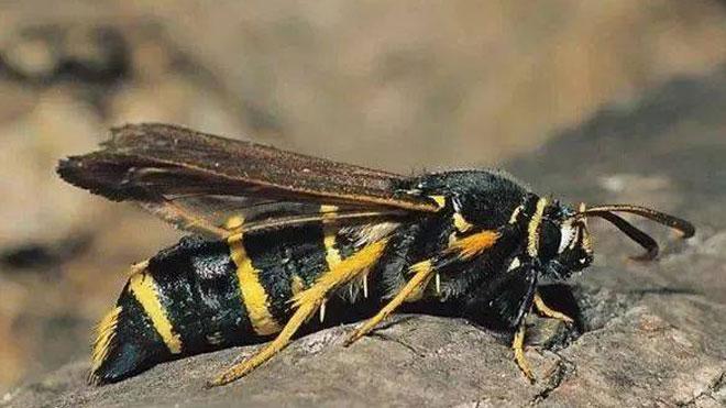 白杨透翅蛾生物特性细讲,及其虫害发生规律!