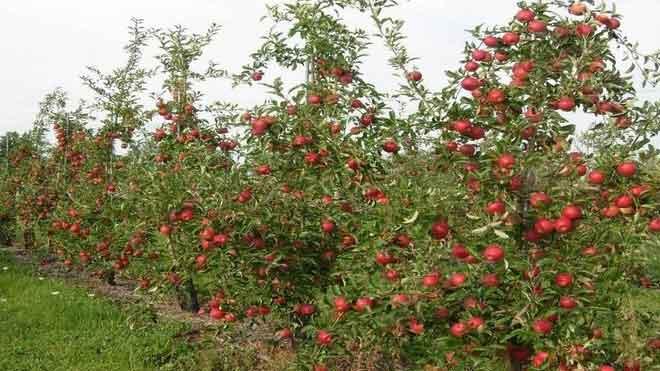 苹果树轮纹病防治所需掌握的重要知识,全面详细!