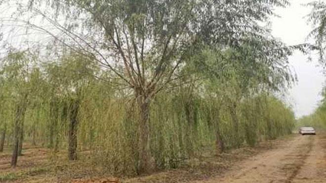 种树之道,柳树植树造林高新技术!
