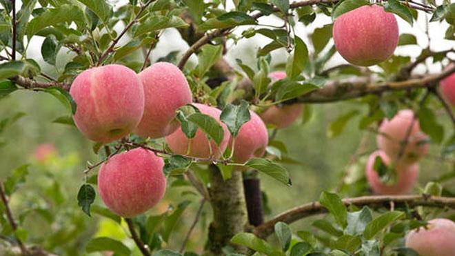苹果病虫害防治原则与绿色防治方法!