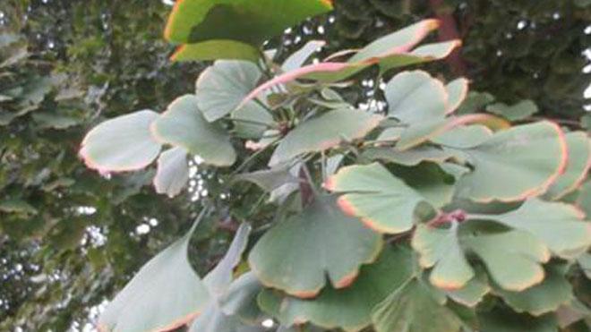 银杏树茎腐病五种高效防治手段,有病不成灾!