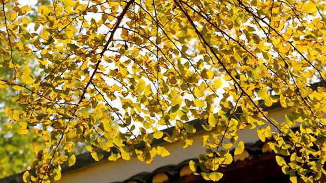 银杏常见虫害桃蛀暝与桃小食心虫预防知识与防治方法