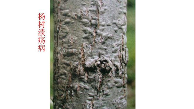 杨树溃疡病四种强化,防治于未患!