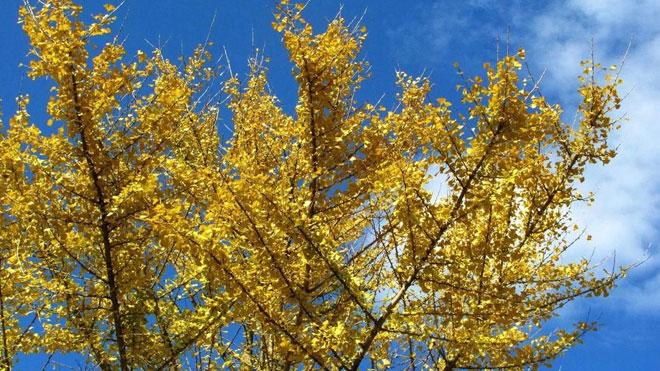 银杏树黄叶病八种防治手段,对症下药见效快!