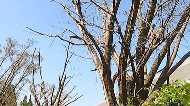 银杏树黄化、干枯与坏死的可能原因与对策