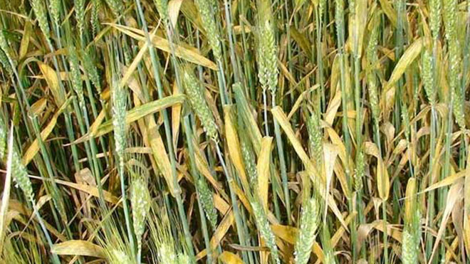 小麦条锈病防治措施