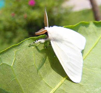 美国白蛾诱捕剂